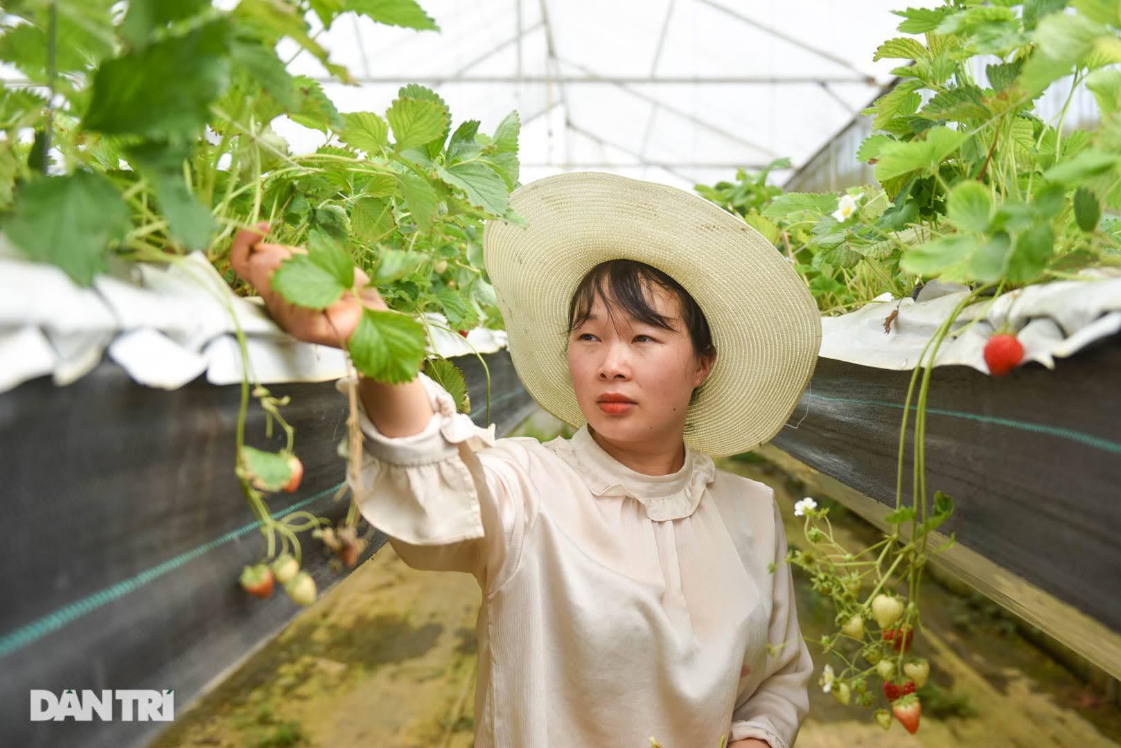 Bỏ việc, cắm sổ đỏ đi trồng dâu tây: Đón 3 vạn khách, thu 3 tỷ đồng mỗi năm - 14