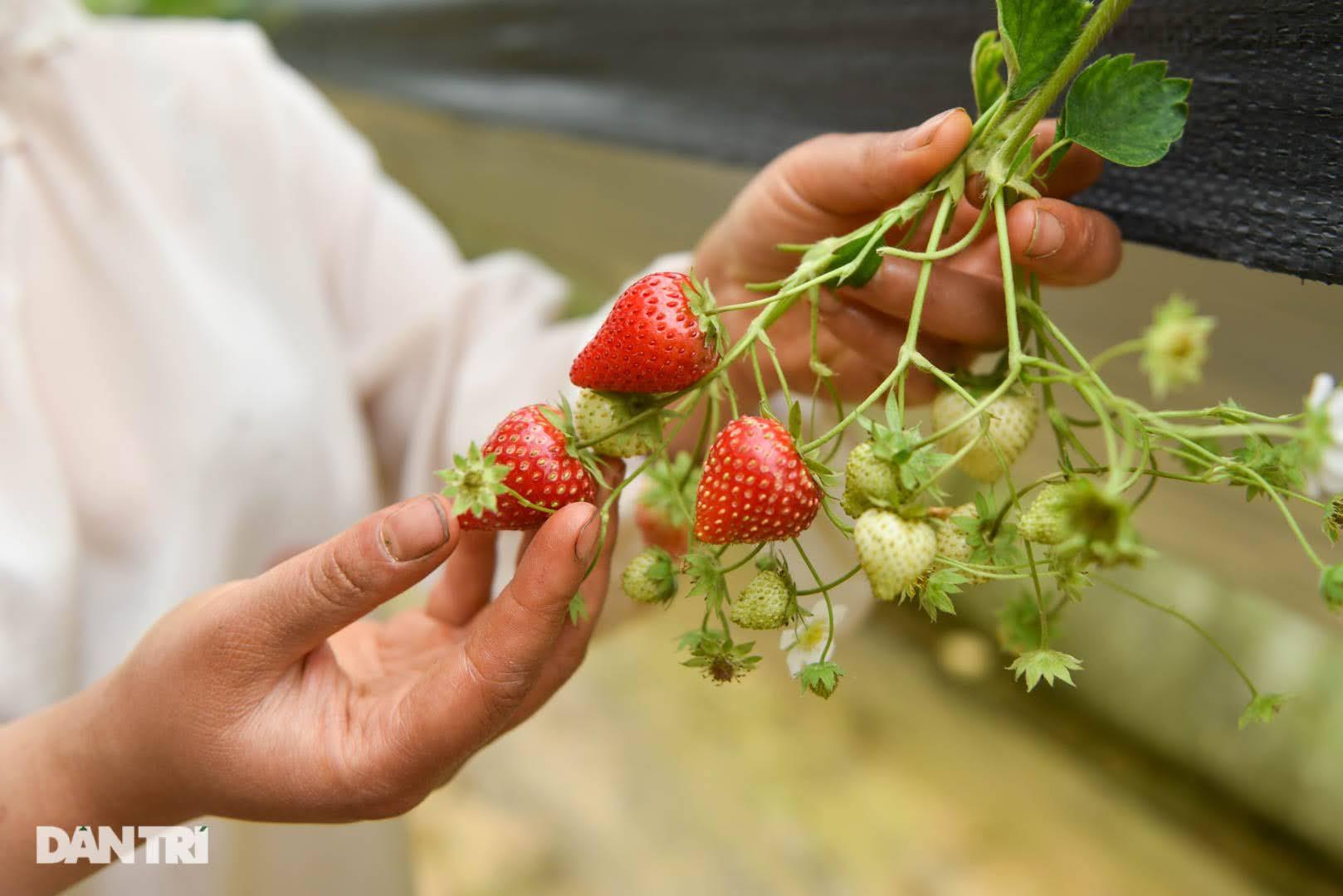 Bỏ việc, cắm sổ đỏ đi trồng dâu tây: Đón 3 vạn khách, thu 3 tỷ đồng mỗi năm - 15