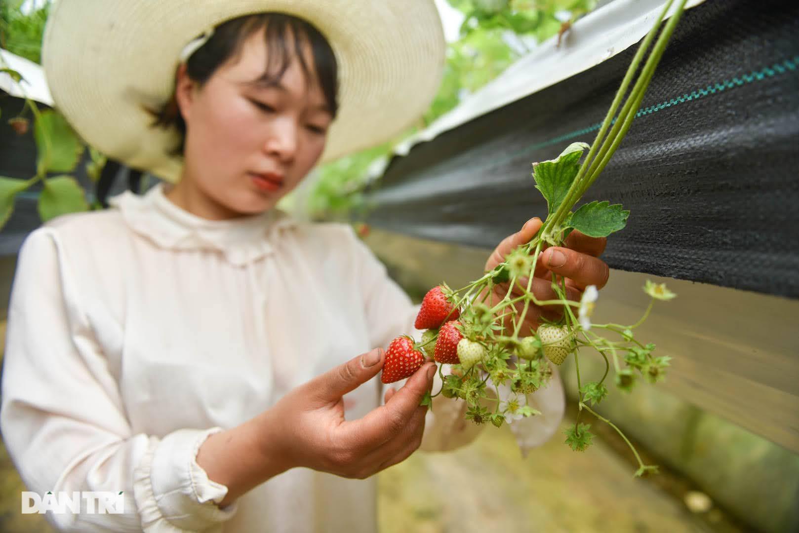 Bỏ việc, cắm sổ đỏ đi trồng dâu tây: Đón 3 vạn khách, thu 3 tỷ đồng mỗi năm - 7