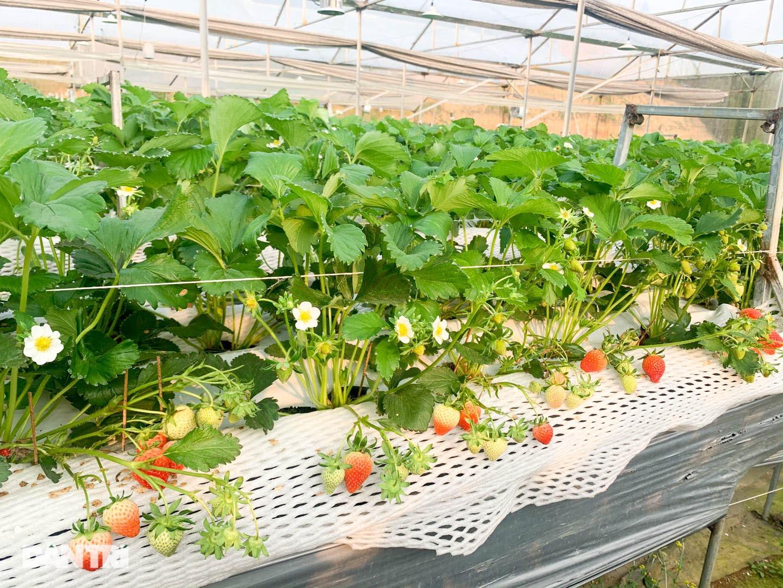Bỏ việc, cắm sổ đỏ đi trồng dâu tây: Đón 3 vạn khách, thu 3 tỷ đồng mỗi năm - 12