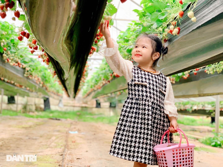 Bỏ việc, cắm sổ đỏ đi trồng dâu tây: Đón 3 vạn khách, thu 3 tỷ đồng mỗi năm - 11