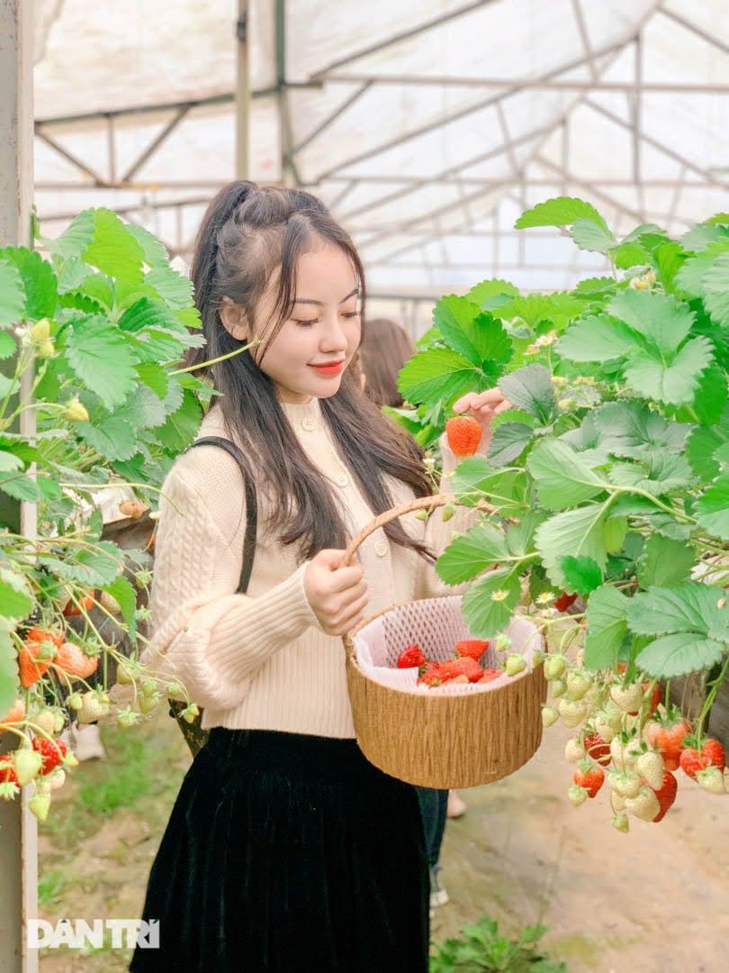Bỏ việc, cắm sổ đỏ đi trồng dâu tây: Đón 3 vạn khách, thu 3 tỷ đồng mỗi năm - 6