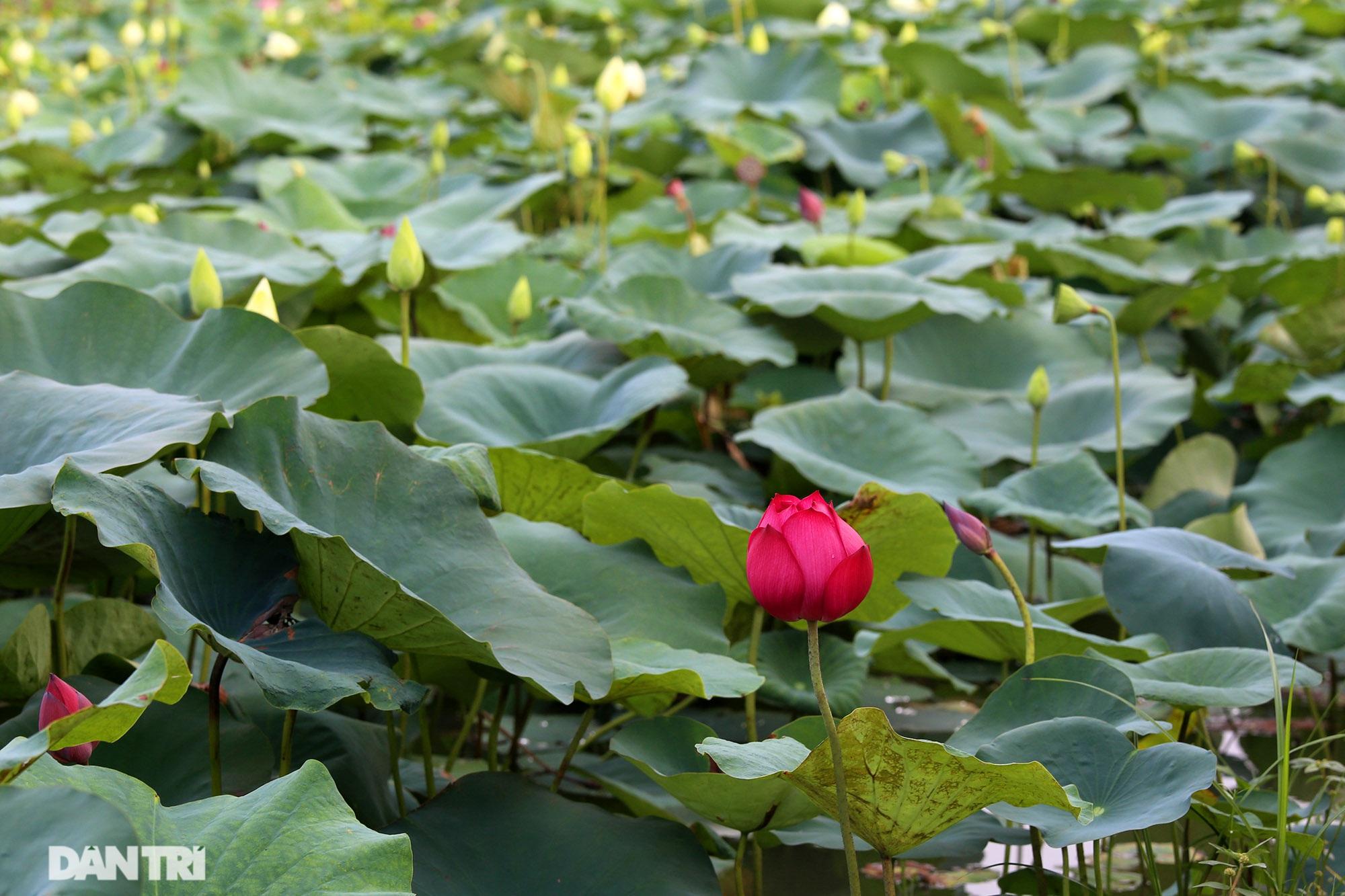 Thăm đầm sen ở Hà Nội có đến 167 loài, đa dạng nhất Việt Nam - 13
