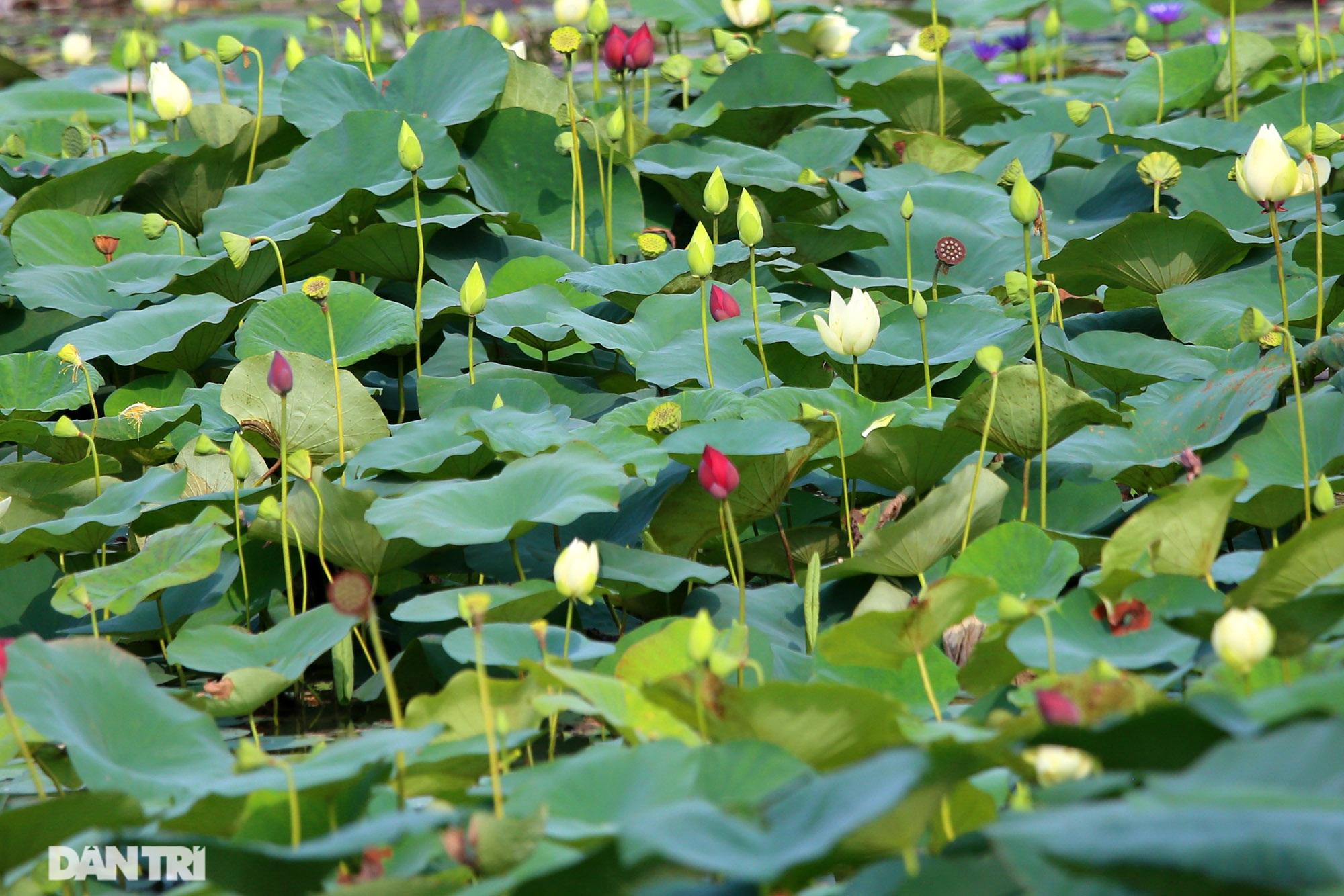 Thăm đầm sen ở Hà Nội có đến 167 loài, đa dạng nhất Việt Nam - 15