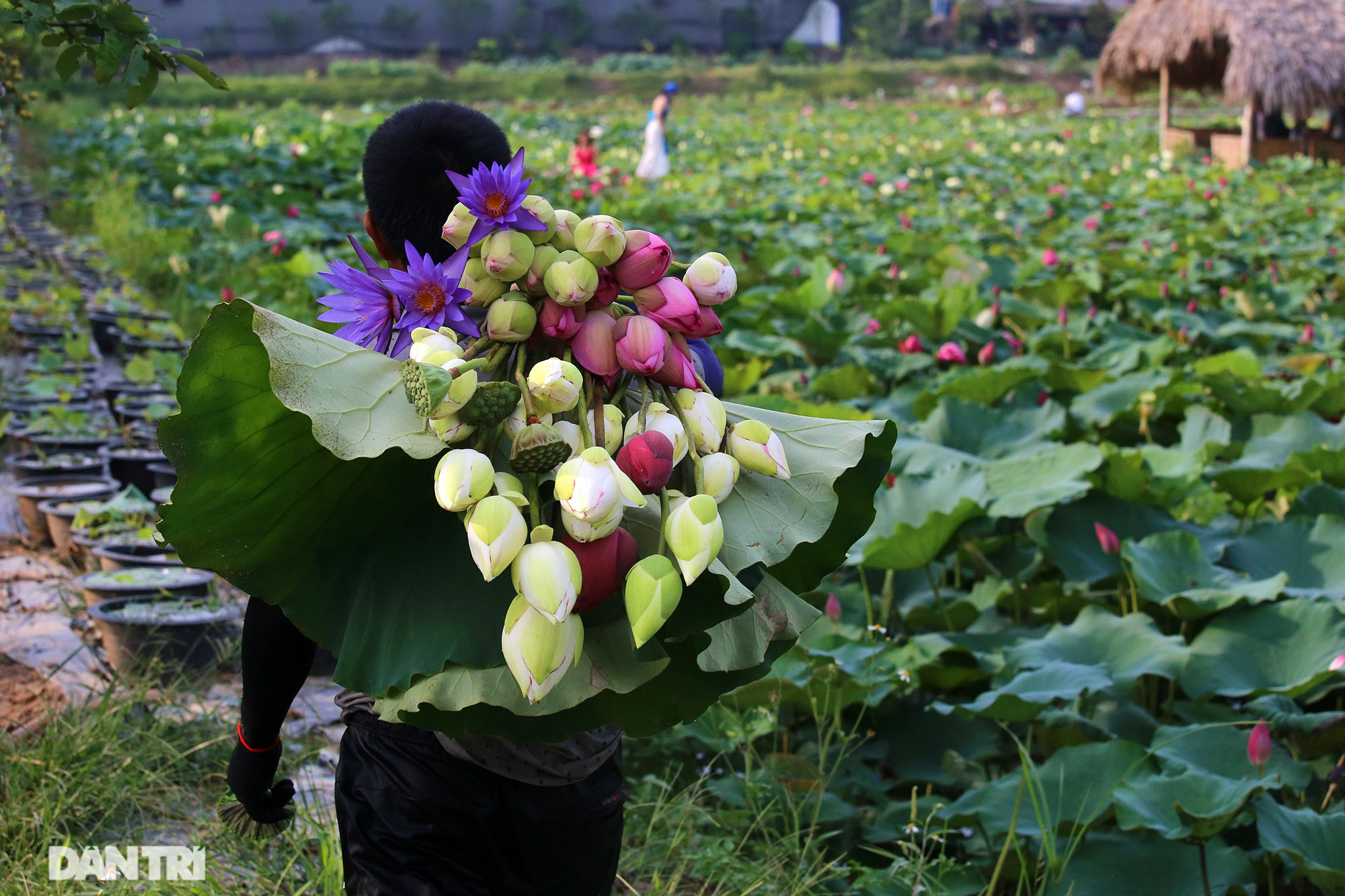 Thăm đầm sen ở Hà Nội có đến 167 loài, đa dạng nhất Việt Nam - 7