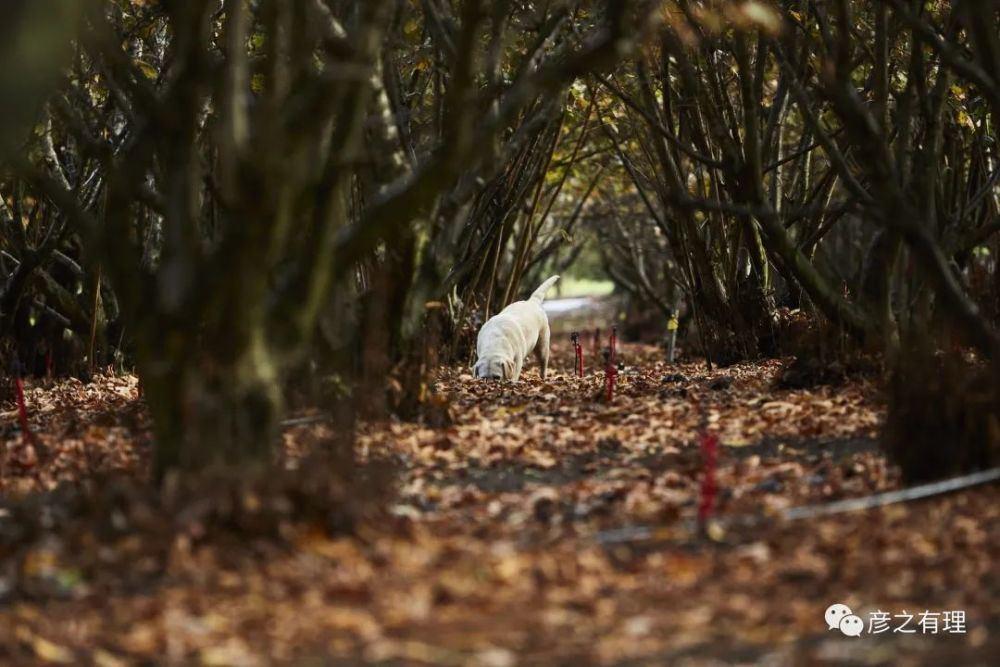 Du khách hào hứng đi săn vàng đen, thuê cả chó chuyên dụng để tìm kiếm - 6