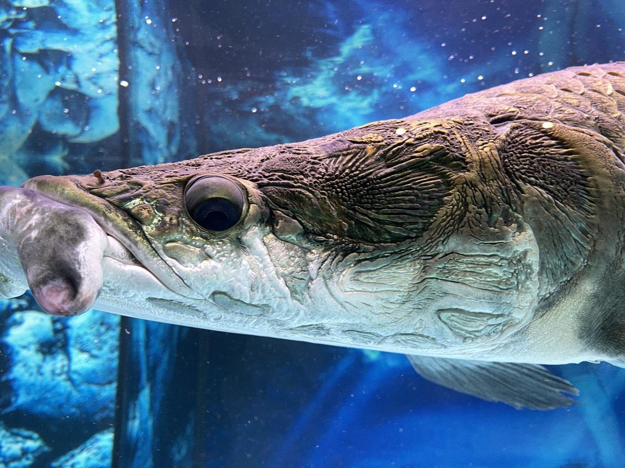 Nuôi quái vật sông Amazon, thú chơi vương giả của đại gia Việt - 2