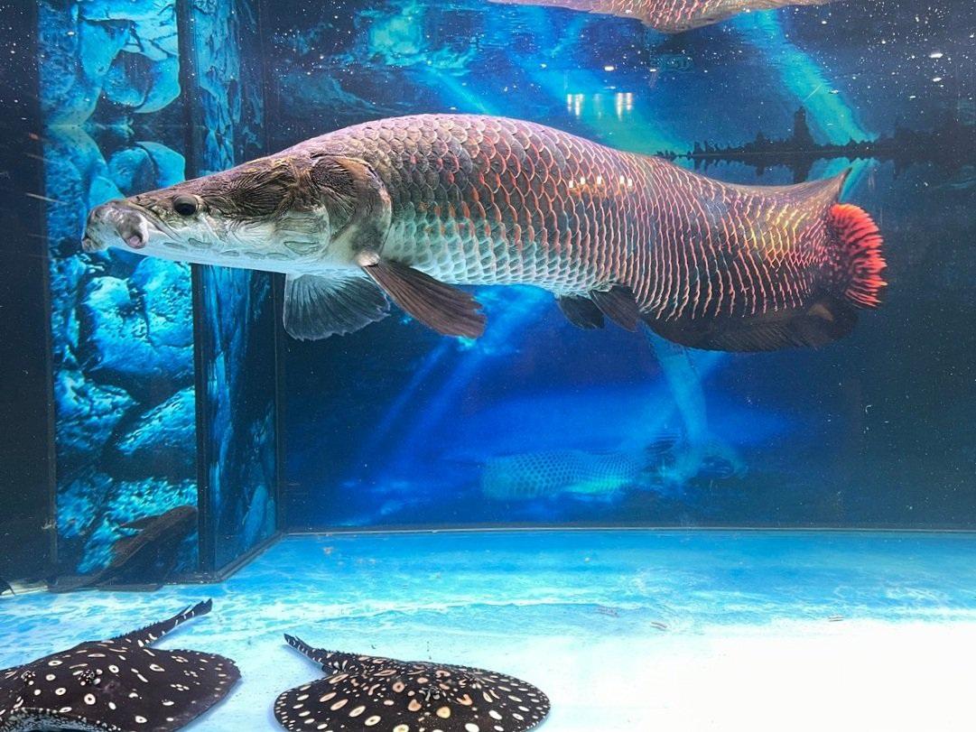 Nuôi quái vật sông Amazon, thú chơi vương giả của đại gia Việt - 3