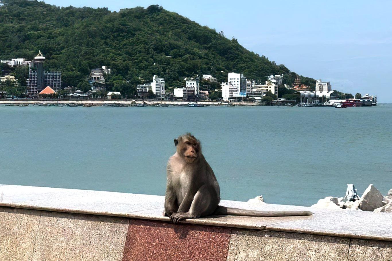 Khỉ tràn xuống phố tìm thức ăn khi TP Vũng Tàu giãn cách xã hội - 4