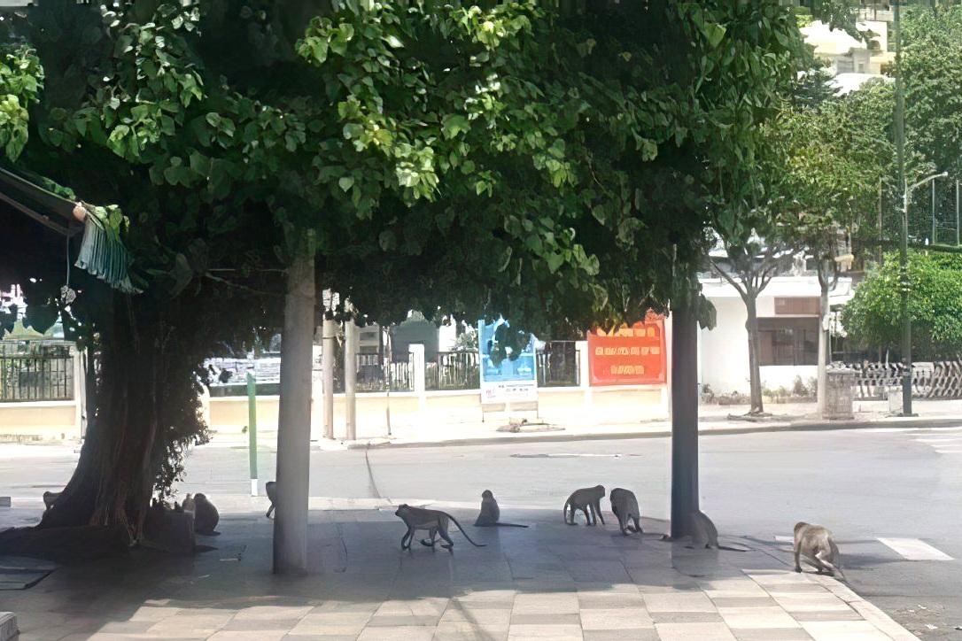 Khỉ tràn xuống phố tìm thức ăn khi TP Vũng Tàu giãn cách xã hội - 1