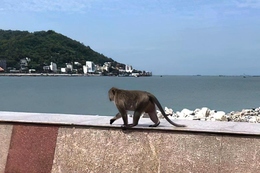 Khỉ tràn xuống phố tìm thức ăn khi TP Vũng Tàu giãn cách xã hội - 3