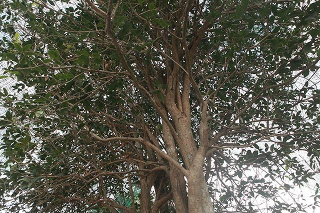 Giải mã cơn sốt Mộc Hương- loài cây đắt đỏ sánh ngang lan đột biến - 1
