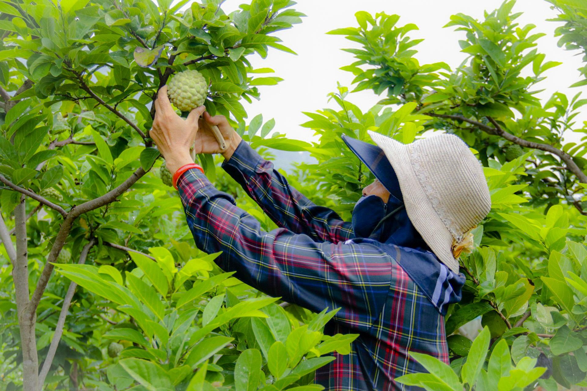 Thu hàng trăm tỷ đồng mỗi năm nhờ trồng loại quả vừa ngọt vừa dai - 4