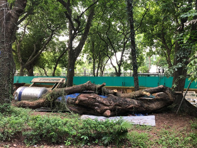 Hà Nội: Đấu giá trực tuyến 7 cây gỗ sưa được gần 235 tỷ đồng - 2