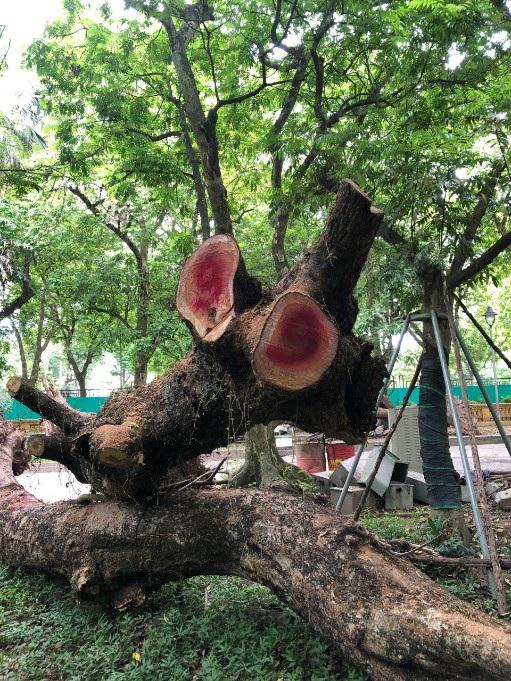Hà Nội: Đấu giá trực tuyến 7 cây gỗ sưa được gần 235 tỷ đồng - 3