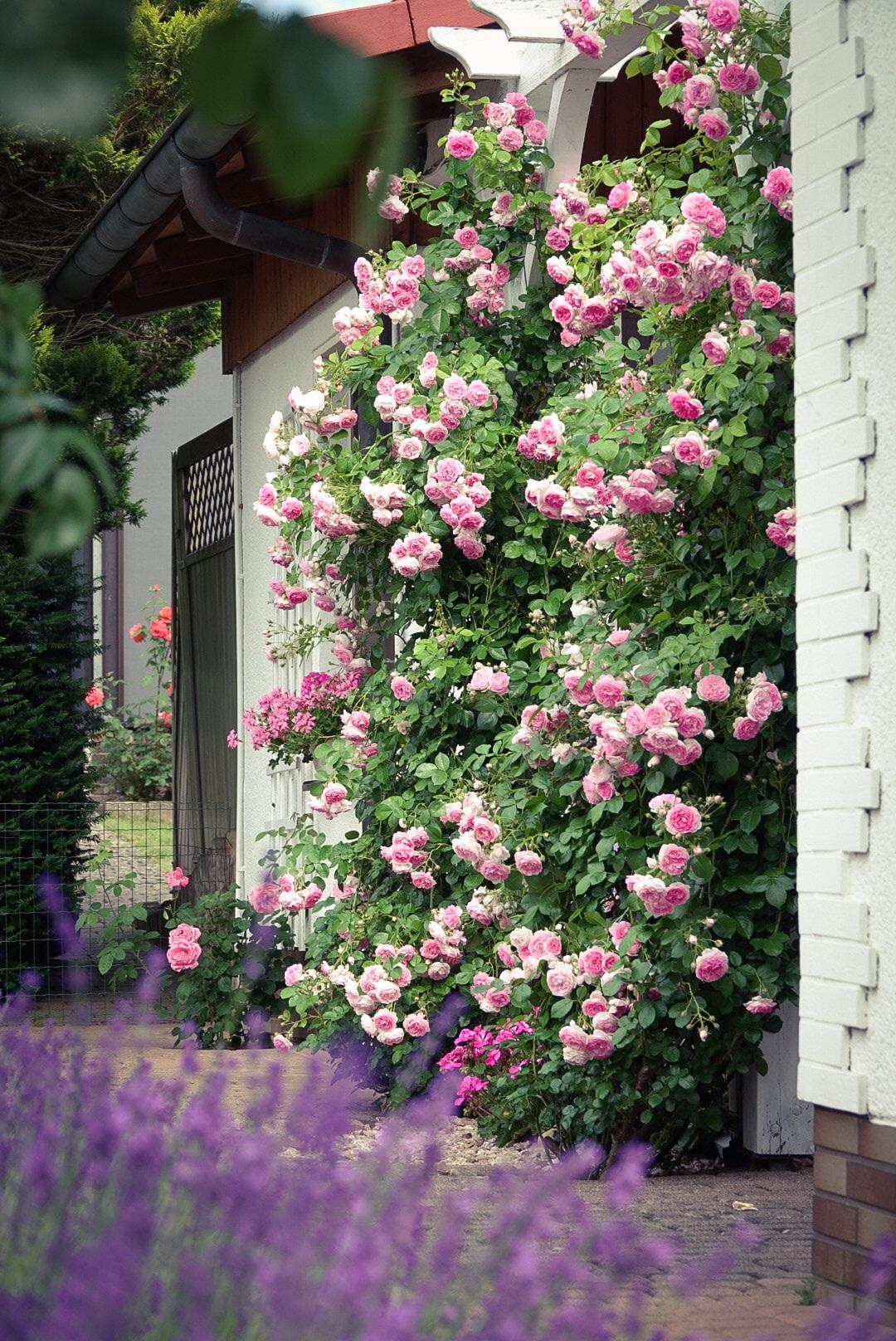 Mãn nhãn nhà vườn triệu bông hồng đẹp như cổ tích của mẹ Việt ở Đức - 2