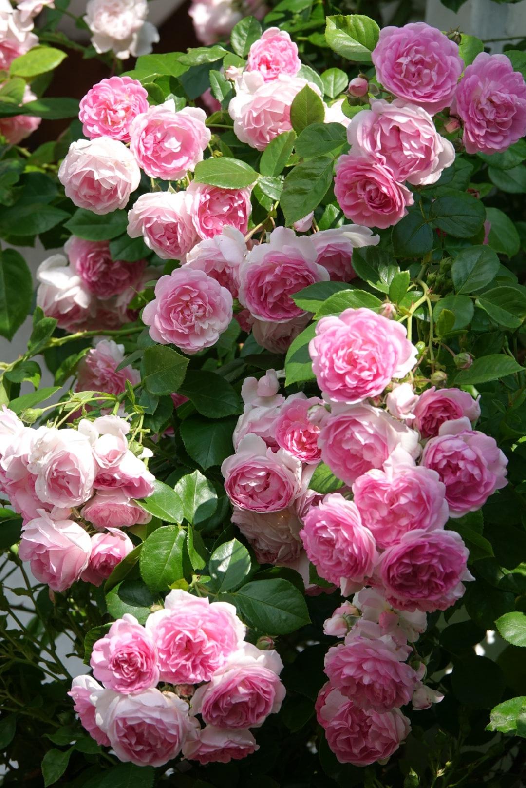 Mãn nhãn nhà vườn triệu bông hồng đẹp như cổ tích của mẹ Việt ở Đức - 6