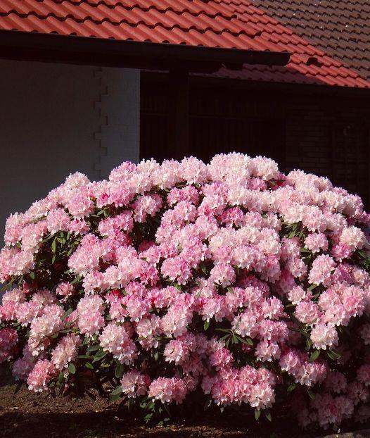 Mãn nhãn nhà vườn triệu bông hồng đẹp như cổ tích của mẹ Việt ở Đức - 8