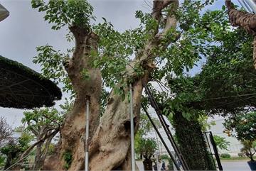 'Siêu' sung cổ thụ, chủ vườn rao bán 1,2 tỷ 'miễn mặc cả' xôn xao Hà Nội