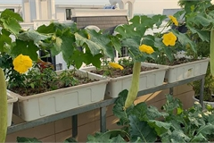 Mãn nhãn với vườn rau củ quả 4 mùa trên sân thượng 120m2