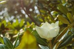 Đóa sen nằm trên cạn, tỏa hương thơm ngát ngôi chùa trăm năm tuổi