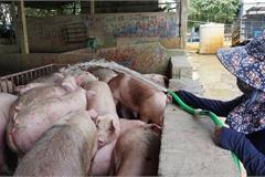 Chợ đầu mối lợn hơi ế ẩm, tiểu thương ngồi 'đuổi ruồi' vì giá quá cao