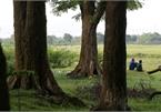 Rừng lim xanh cổ thụ hơn nghìn năm tuổi ngay tại Hà Nội