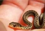 40 con rắn làm tổ trong điều hòa phòng ngủ