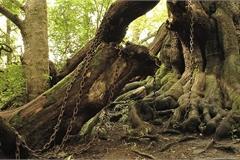 Cây cổ thụ bị xiềng xích chằng chịt suốt hàng trăm năm
