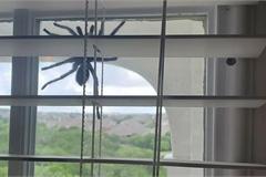 Phát hiện nhện khổng lồ lơ lửng trên cửa sổ