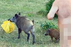 Đề xuất tiêu diệt con lợn ăn trộm đồ của du khách khỏa thân