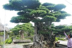 Ngọn cây sanh giá 28 tỷ đồng, vậy gốc cây đáng giá bao nhiêu?