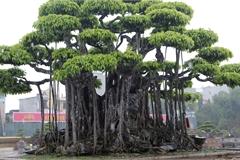 Ngắm dàn 'siêu cây' hàng triệu USD của đại gia xứ Thanh