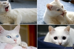 Nobiko - mèo siêu dài nổi tiếng qua đời ở tuổi 18 khiến dân mạng thổn thức
