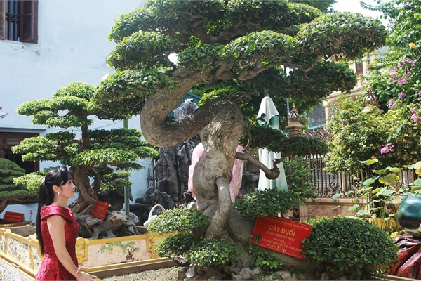 Chiêm ngưỡng cây duối cổ 'độc nhất vô nhị', trả giá 14 tỷ đồng không bán