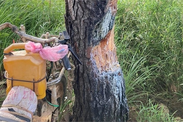 Cây thông bị phượt thủ 'xẻ thịt' lấy nhựa nhóm lửa ở Tà Năng - Phan Dũng
