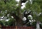 Cây dã hương kỳ vĩ lớn nhất thế giới tại Bắc Giang
