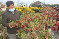 Cây dâu tằm 'nhuộm' đỏ quả chín độc đáo hút khách chợ xuân