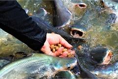 Đàn cá hàng nghìn con đến nhà dân 'xin thức ăn', chủ nhà gọi cá là 'con'