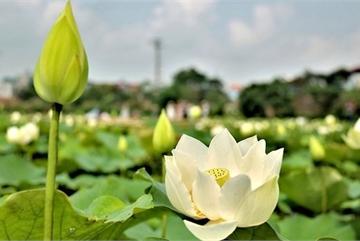 Kiếm tiền triệu từ nghề trồng hoa sen trắng