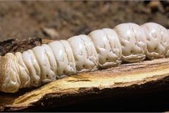 Ấu trùng bướm, đặc sản có thể khiến người ăn 'hú hồn'