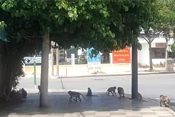 Khỉ tràn xuống phố tìm thức ăn khi TP Vũng Tàu giãn cách xã hội
