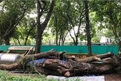Bán bảy cây gỗ sưa được gần 235 tỷ đồng