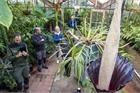 Loài hoa 'khủng' 10 năm nở một lần ở châu Âu