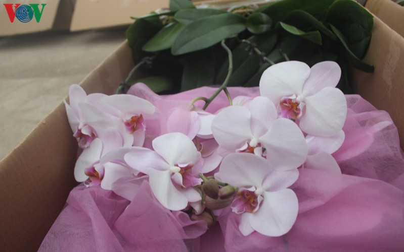 expensive orchid pots prove popular among customers ahead of tet hinh 5