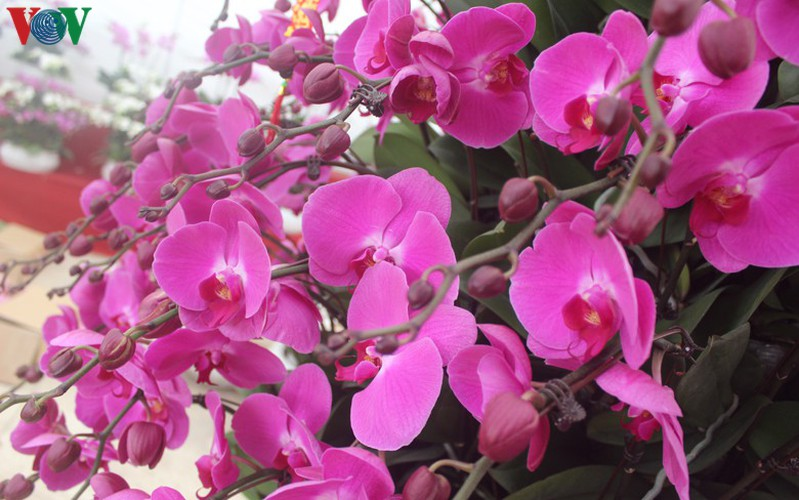 expensive orchid pots prove popular among customers ahead of tet hinh 11