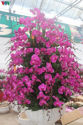 expensive orchid pots prove popular among customers ahead of tet hinh 7