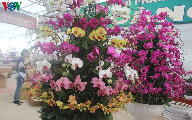 expensive orchid pots prove popular among customers ahead of tet hinh 8