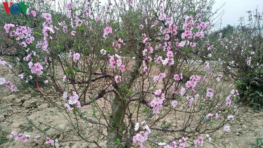 ancient peach growing village in hai phong prepares for tet rush hinh 3