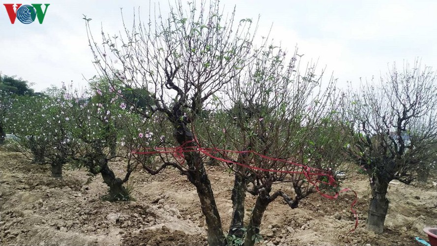 ancient peach growing village in hai phong prepares for tet rush hinh 4